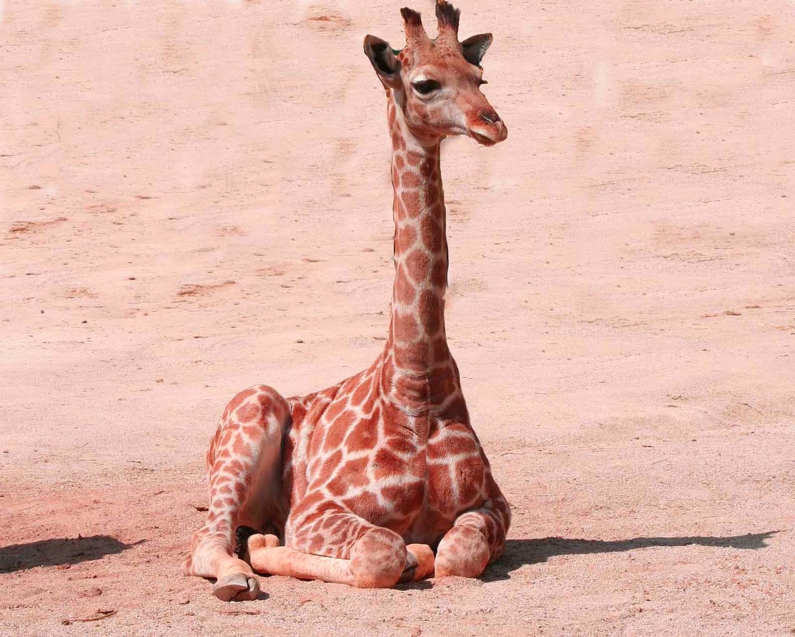 Girafon au zoo de la Palmyre